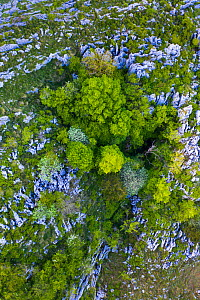 Beech (Fagus sp) forest on cliff in spring, aerial view. Cerredo Mountain, Montana Oriental Costera, Castro Urdiales, Cantabria, Spain. May 2019.  -  Juan Carlos Munoz