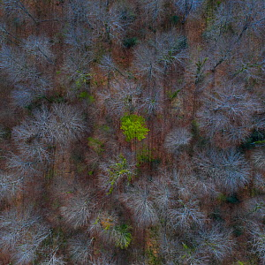 Trees starting to come into leaf in Beech (Fagus sp) forest in spring, aerial view. Gorbeia Natural Park, Alava, Basque Country, Spain. April.  -  Juan Carlos Munoz