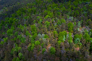 Woodland dominated by Beech (Fagus sp) and Scots pine (Pinus sylvestris), deciduous trees coming into leaf and blossoming in spring, aerial view. Aguera de Montija, Burgos, Castile and Leon, Spain. Ma...  -  Juan Carlos Munoz