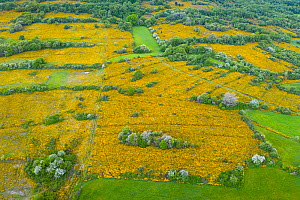 Gorse (Ulex sp) scrub flowering in network of fields with scattered trees and surrounded by hedgerows and woodlands, aerial view. Merindad de Montija, Burgos, Castile and Leon, Spain. May 2019.  -  Juan Carlos Munoz