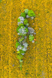 Trees coming into leaf and blossoming surrounded by flowering Gorse (Ulex sp), aerial view. Merindad de Montija, Burgos, Castile and Leon, Spain. May 2019.  -  Juan Carlos Munoz