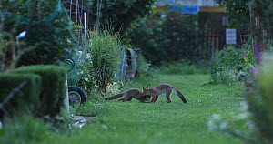 Red fox (Vulpes vulpes) cubs play fighting in an allotment, London, England, UK, July. - Matthew Maran