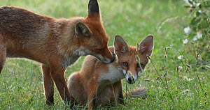 Red fox (Vulpes vulpes) vixen grooming her cub in an allotment, London, England, UK, July. - Matthew Maran