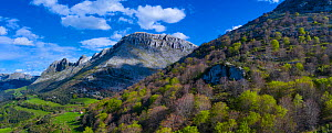 Beech (Fagus sp) forest on hillside with mountains of the Sierra de Hornijo in background. Trees coming into leaf in spring. Alto Ason, Soba Valley, Cantabria, Spain. April 2019.  -  Juan Carlos Munoz