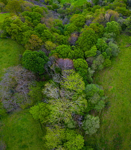 Beech (Fagus sp) forest in spring with trees coming into leaf, aerial view. Sierra de Hornijo, Alto Ason, Soba Valley, Cantabria, Spain. April 2019.  -  Juan Carlos Munoz