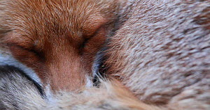 Close up of a Red fox (Vulpes vulpes) sleeping in an allotment, London, England, UK, April. - Matthew Maran
