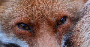 Close up of a Red fox (Vulpes vulpes) resting in an allotment, London, England, UK, April. - Matthew Maran
