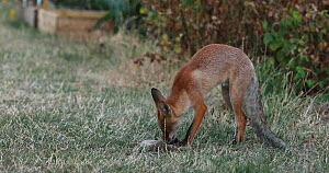 Juvenile Red fox (Vulpes vulpes) playing with slipper in an allotment, London, England, UK, August. - Matthew Maran