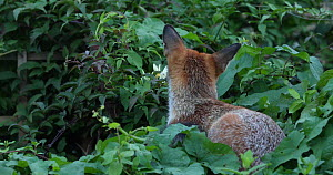 Juvenile Red fox (Vulpes vulpes) resting in vegetation in an allotment, London, England, UK, September. - Matthew Maran