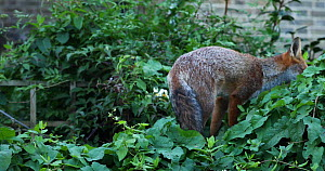 Juvenile Red fox (Vulpes vulpes) settling to rest in vegetation in an allotment, London, England, UK, September. - Matthew Maran