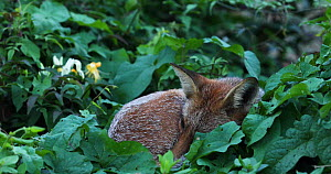 Close up of a Red fox (Vulpes vulpes) sleeping in an allotment, London, England, UK, September. - Matthew Maran