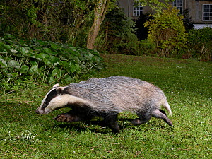 European badger (Meles meles) running across garden lawn at night, close to a house. Wiltshire, England, UK. May. Camera trap image. - Nick Upton