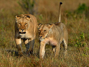 Young Lioness (Panthera leo) walking in grass with an adult one behind her, Masai Mara, Kenya, March.  -  Loic Poidevin