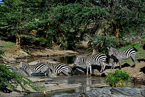 Plains Zebra (Equus quagga) herd crossing a river, Masai Mara, Kenya. March.  -  Loic Poidevin