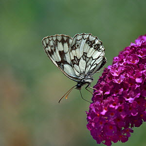 Marbled White butterfly (Melanargia galathea) drinking from Buddleia flowers, Vendee, France. July. - Loic Poidevin