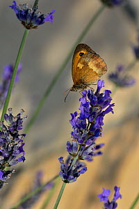Gatekeeper (Pyronia tithonus) on Lavender flowers (Lavandula),  Vendee, France. July. - Loic Poidevin