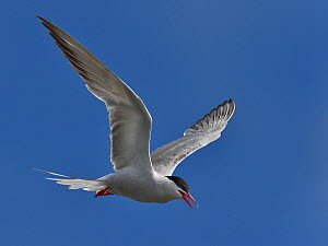 Common Tern (Sterna hirundo) in flight, Vendee, France. July.  -  Loic Poidevin