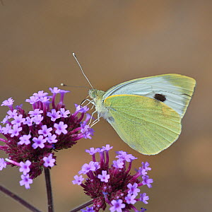 Large White butterfly (Pieris brassicae) feeding on Verbena (Verbena bonariensis) flower, Vendée, France. August. - Loic Poidevin