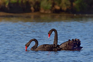 Black Swans (Cygnus atratus) foraging in water, Marsh of Ile d'Olonne, Vendee, France. July.  -  Loic Poidevin
