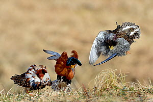Ruff (Philomachus pugnax) males displaying and fighting each other at a lek, Finland. May. - Loic Poidevin