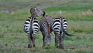 Three Plains Zebra (Equus quagga) grazing close together, Masai Mara, Kenya. March.  -  Loic Poidevin