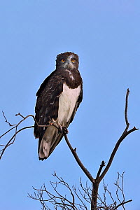 Black-Chested Harrier Eagle (Circaetus pectoralis) on a branch, Masai mara, Kenya. March.  -  Loic Poidevin