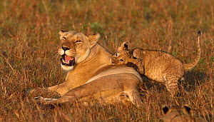 African lioness (Panthera leo) lying in grass with a playful cub, Masai Mara, Kenya. March.  -  Loic Poidevin