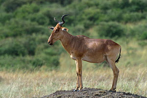 Coke's Hartebeest (Alcelaphus buselaphus) standing on a mound, Masai Mara, Kenya. March.  -  Loic Poidevin