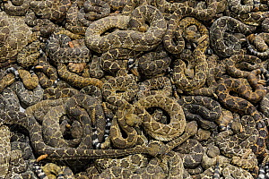 Rattlesnakes lay in thick piles on top of one another in the snake pit, annual Rattlesnake Roundup, Sweetwater, Texas, USA.  -  Jo-Anne McArthur / We Animals