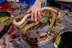 Blood covered hand rests on two snake bodies on the skinning table, annual Rattlesnake Roundup, Sweetwater, Texas, USA. - Jo-Anne McArthur / We Animals