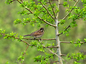 Common reed bunting (Emberiza schoeniclus) female perched in Hawthorn (Crataegus monogyna) Blashford Lakes Nature Reserve, Hampshire and Isle of Wight Wildlife Trust Reserve, Ellingham, near Ringwood,...  -  Mike Read