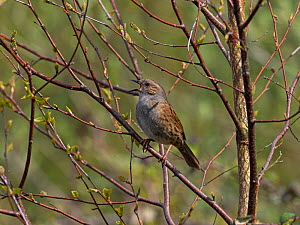 Dunnock (Prunella modularis) singing perched in Silver birch (Betula pendula) Blashford Lakes Nature Reserve, Hampshire and Isle of Wight Wildlife Trust Reserve, Ellingham, near Ringwood, Hampshire, E...  -  Mike Read