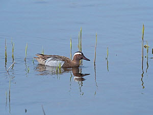 Garganey (Anas querquedula) male in a reedbed pool, Ham Wall RSPB Reserve, part of the Avalon Marshes, Somerset Levels and Moors, England, UK, April. - Mike Read