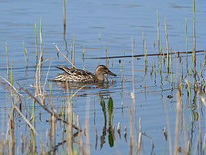 Garganey (Anas querquedula) female in a reedbed pool, Ham Wall RSPB Reserve, part of the Avalon Marshes, Somerset Levels and Moors, England, UK, April. - Mike Read