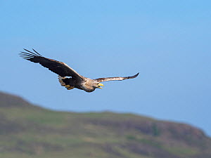 White-tailed eagle (Haliaeetus albicilla) adult in flight calling, Loch na Keal, Isle of Mull, Inner Hebrides, Argyll and Bute, Scotland, UK, May - Mike Read