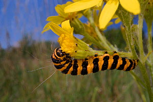 Cinnabar moth (Tyria jacobaeae) caterpillar feeding on Ragwort (Jacobaea vulgaris) in meadow. Wiltshire, England, UK. July. - Nick Upton