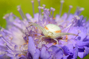 Goldenrod crab spider (Misumena vatia) female on Field scabious (Knautia arvensis) waiting for prey to land, legs raised, Wiltshire, England, UK. July.  -  Nick Upton