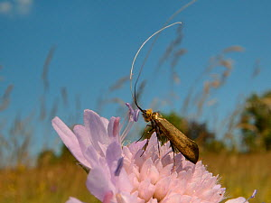 Brassy longhorn moth (Nemophora metallica) male animal standing on a Field scabious (Knautia arvensis) flower, the host plant for the larvae of this species, waiting for females to arrive, chalk grass...  -  Nick Upton