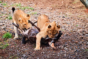 Two young male lions (Panthera leo) suffocating and killing Wildebeest (Connochaetes taurinus) prey. Masai Mara National Reserve, Kenya.  -  Eric Baccega