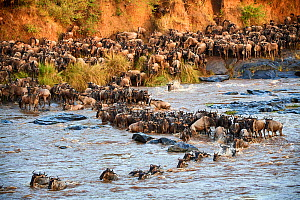 Eastern White-bearded Wildebeest herd (Connochaetes taurinus) crossing the Mara River. Masai Mara National Reserve, Kenya.  -  Eric Baccega