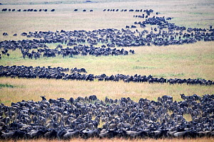 Eastern White-bearded Wildebeest (Connochaetes taurinus) migrating herds, Masai Mara National Reserve, Kenya.  -  Eric Baccega