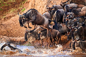 Eastern White-bearded Wildebeest (Connochaetes taurinus) jumping into Mara river on migration, Masai Mara National Reserve, Kenya.  -  Eric Baccega