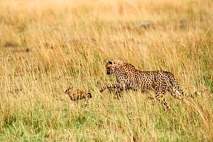 Cheetah subadult (Acinonyx jubatus) hunting a Thomson's gazelle fawn (Eudorcas thomsonii) caught by the mother so they can develop their hunting skills, Masai Mara National Reserve, Kenya.  -  Eric Baccega