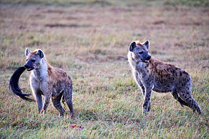 Two Spotted hyaena (Crocuta crocuta) in savanna and one with a wildebeest tail in its mouth. Masai Mara National Reserve, Kenya.  -  Eric Baccega