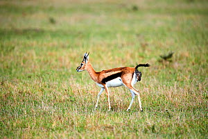 Thomson's gazelle (Eudorcas thomsonii) giving birth to a fawn. Masai Mara National Reserve, Kenya.Sequence 2 of 7.  -  Eric Baccega