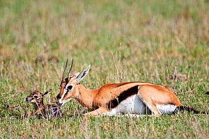 Thomson's gazelle (Eudorcas thomsonii) mother pulling birth sac off newborn baby. Masai Mara National Reserve, Kenya. Sequence 3 of 7.  -  Eric Baccega