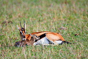 Thomson's gazelle (Eudorcas thomsonii) mother licking newborn baby. Masai Mara National Reserve, Kenya. Sequence 4 of 7.  -  Eric Baccega