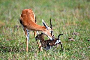 Thomson's gazelle (Eudorcas thomsonii) mother licking newborn baby. Masai Mara National Reserve, Kenya. Sequence 5 of 7.  -  Eric Baccega
