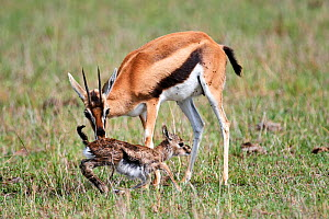 Thomson's gazelle (Eudorcas thomsoni) mother encourages newborn baby to take its first steps. Masai Mara National Reserve, Kenya.  -  Eric Baccega