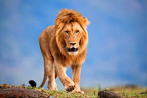 Lion (Panthera leo) male walking. Masai Mara National Reserve, Kenya.  -  Eric Baccega